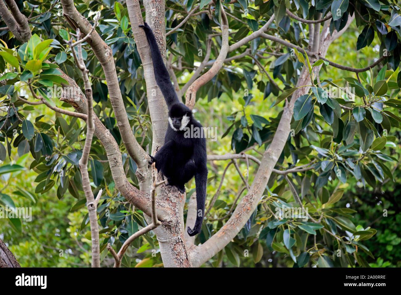 Le nord de l'White-Cheeked Gibbon, mâle adulte sur arbre, captive, Adélaïde, Australie du Sud, Australie, (Nomascus leucogenys) Banque D'Images