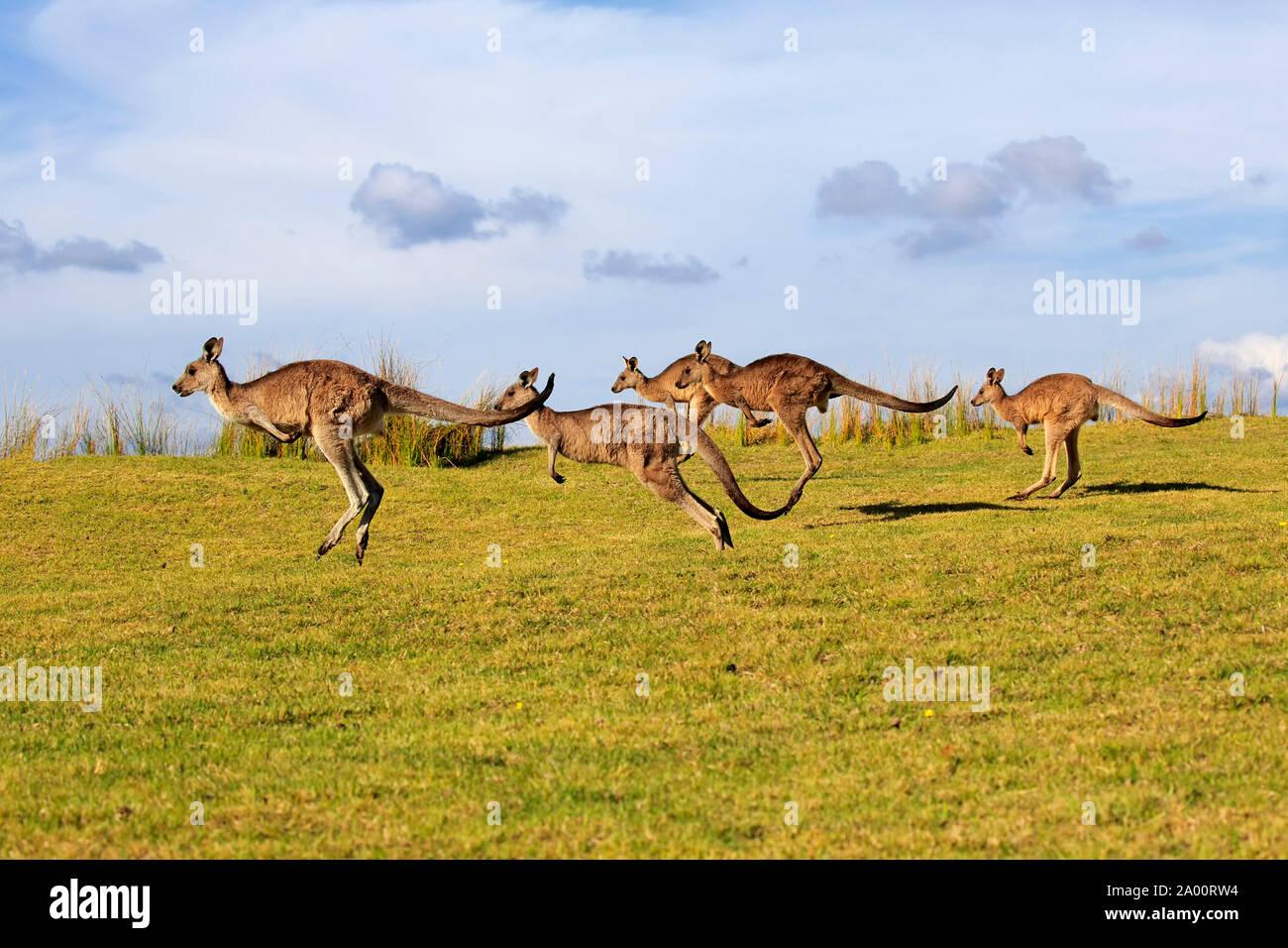 Kangourou gris de l'Est, groupe, Maloney Beach, New South Wales, Australie, (Macropus giganteus) Banque D'Images