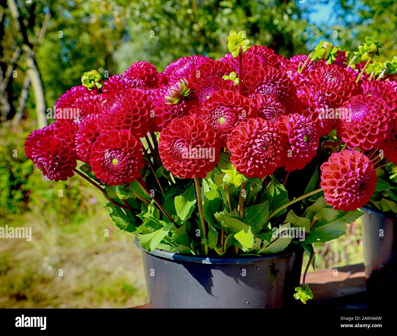 La culture des fleurs en Bavière: dahlia parfait capitules récoltés en été et prêt pour le marché floral Banque D'Images