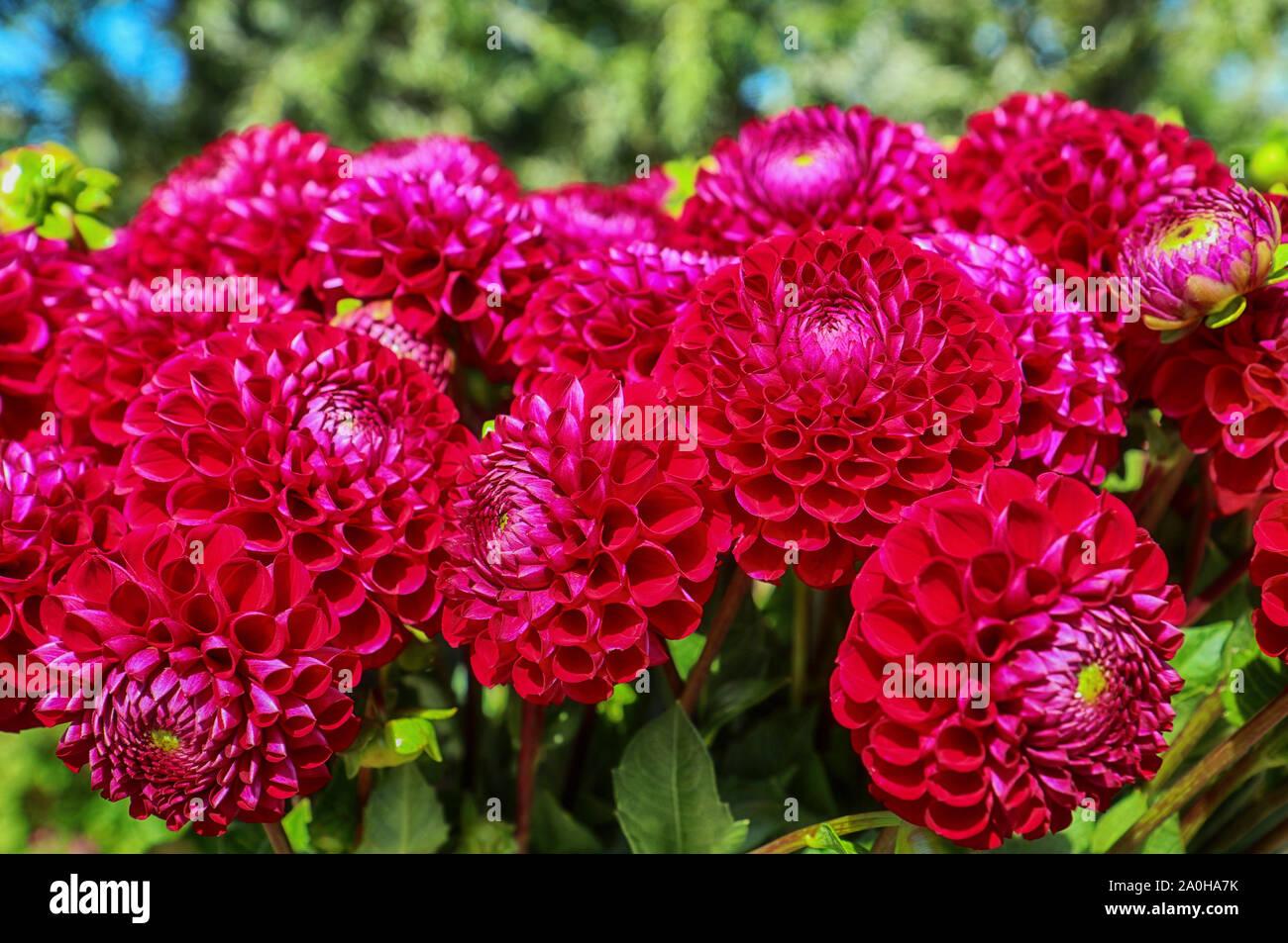 La culture des fleurs en Bavière:close up of dahlia parfait capitules récoltés en été et prêt pour le marché floral Banque D'Images
