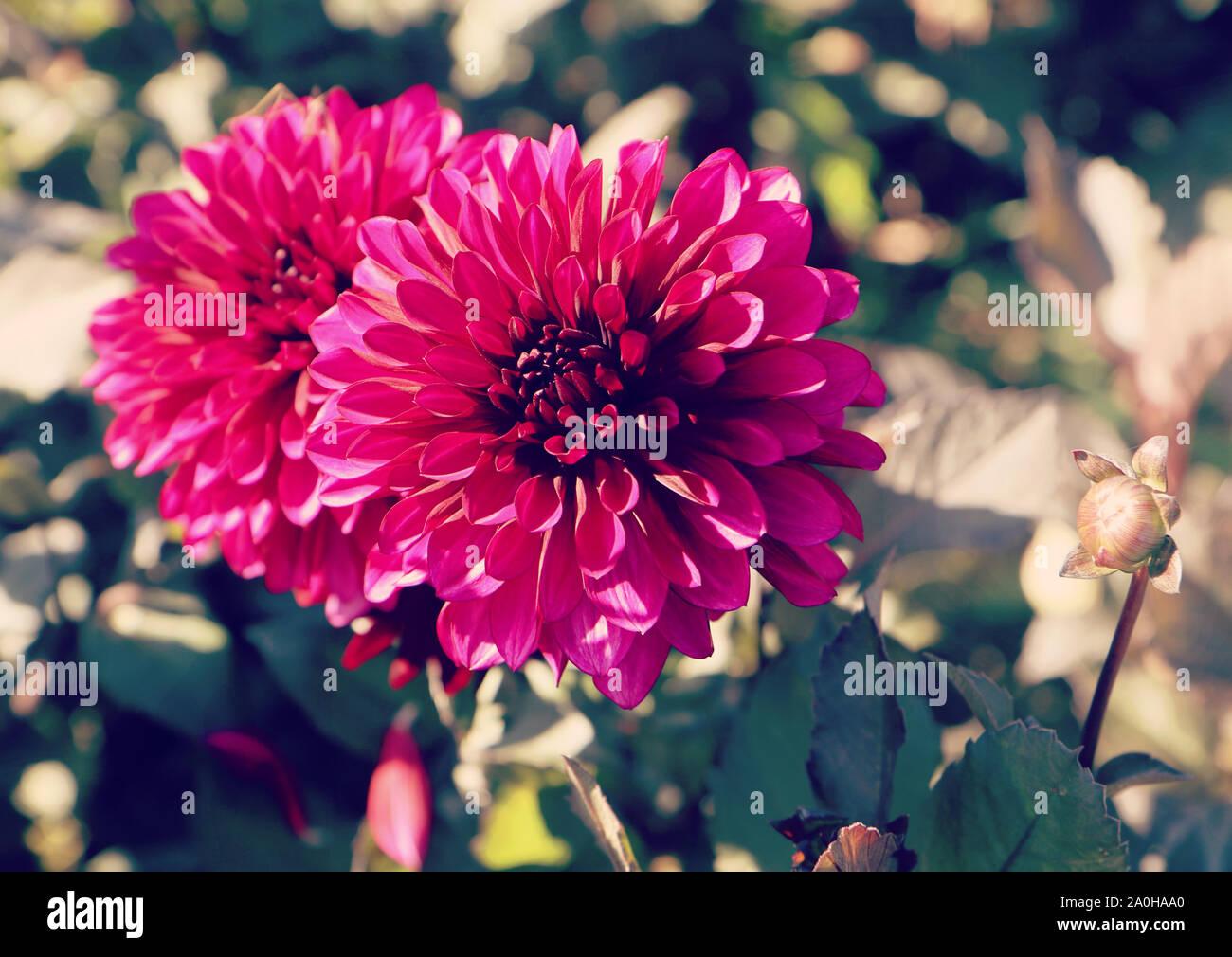 Belle fleur dahlia violet sur la tête en été à une exploitation agricole intensive culture en Bavière, gros plan et arrière-plan flou Banque D'Images
