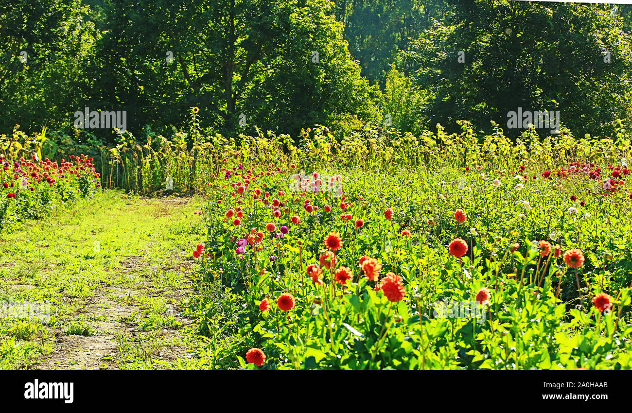 Vue d'été de dahlias colorés et le tournesol la culture intensive en Bavière, fleurs prêt à être coupé pour le marché floral Banque D'Images