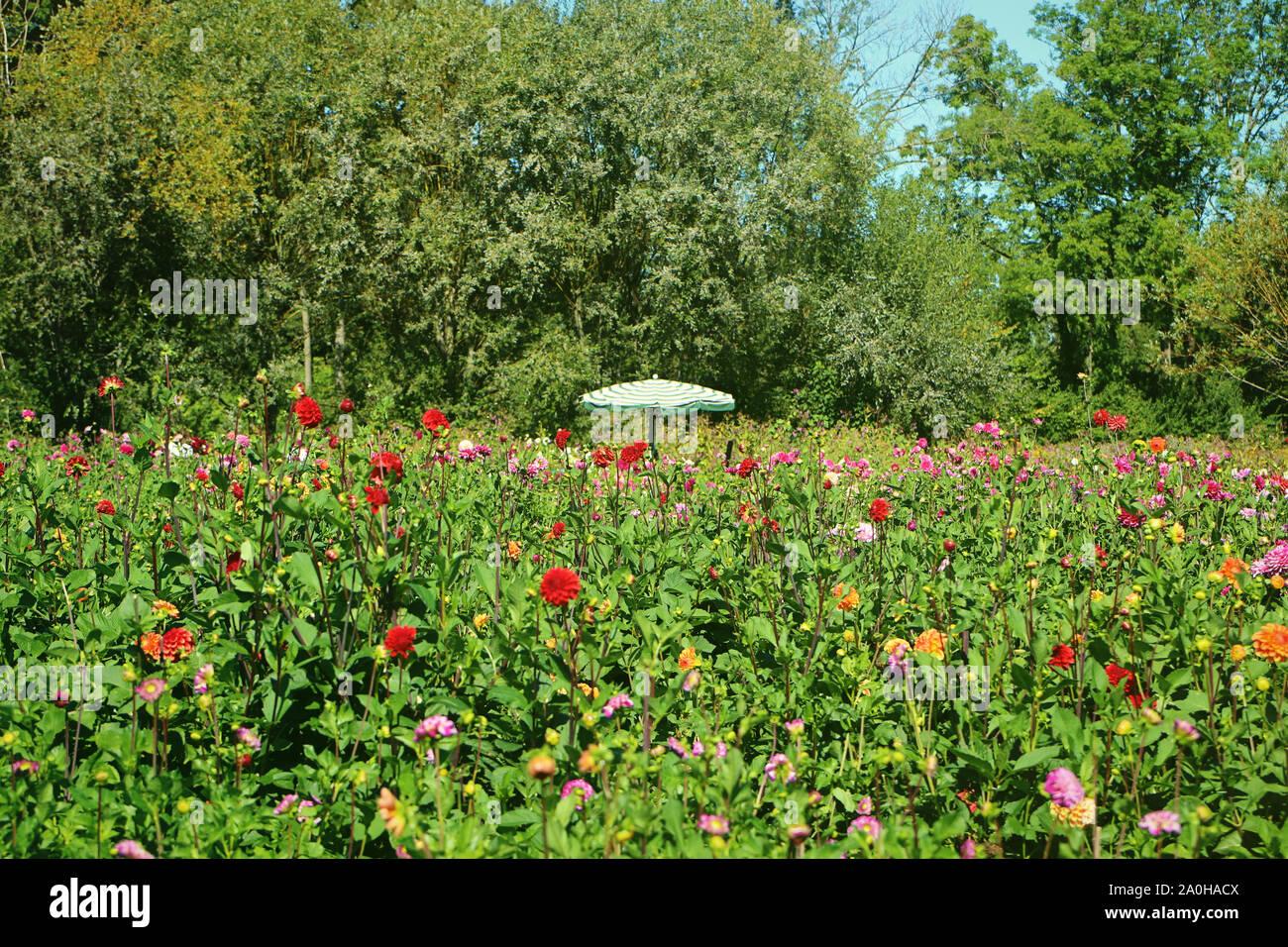 Vue d'été de dahlias colorés la culture intensive en Bavière, fleurs prêt à être coupé pour le marché de fleurs et d'un parasol offrant une protection solaire Banque D'Images