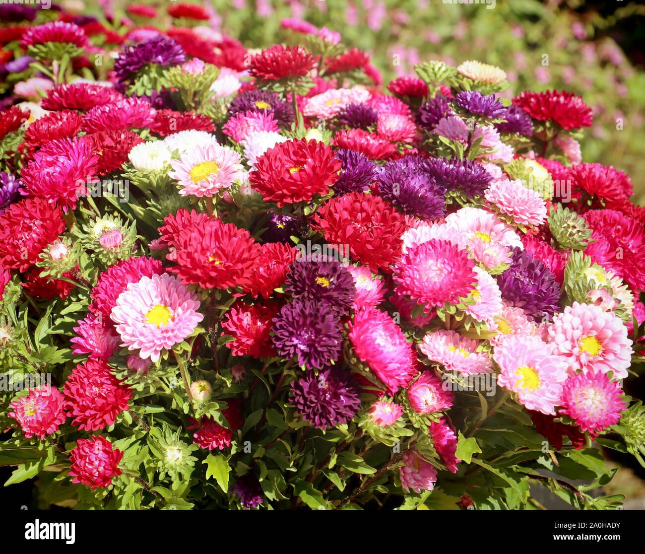 La culture des fleurs en Bavière:close up of colorful fleurs aster en été prêt pour le marché floral Banque D'Images