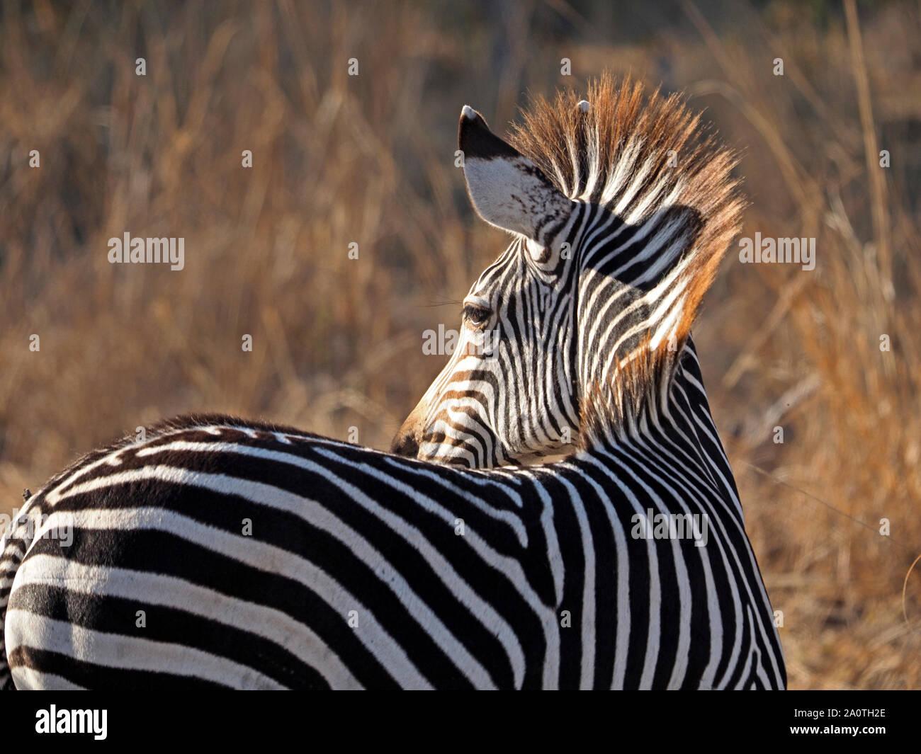 La lumière du soleil qui brille sur le gingembre-tipped mane de zèbre de Crawshay endémiques (Equus quagga crawshayi) dans les prairies sèches d'or de South Luangwa, en Zambie, l'Afrique Banque D'Images