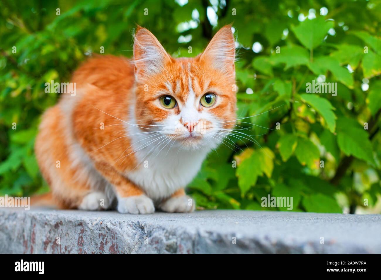Couleur rouge et blanc chat mignon sur branche d'arbre vert feuilles contexte close up, des yeux verts très poilu gingembre kitty, pussycat orange, jaune chaton Banque D'Images