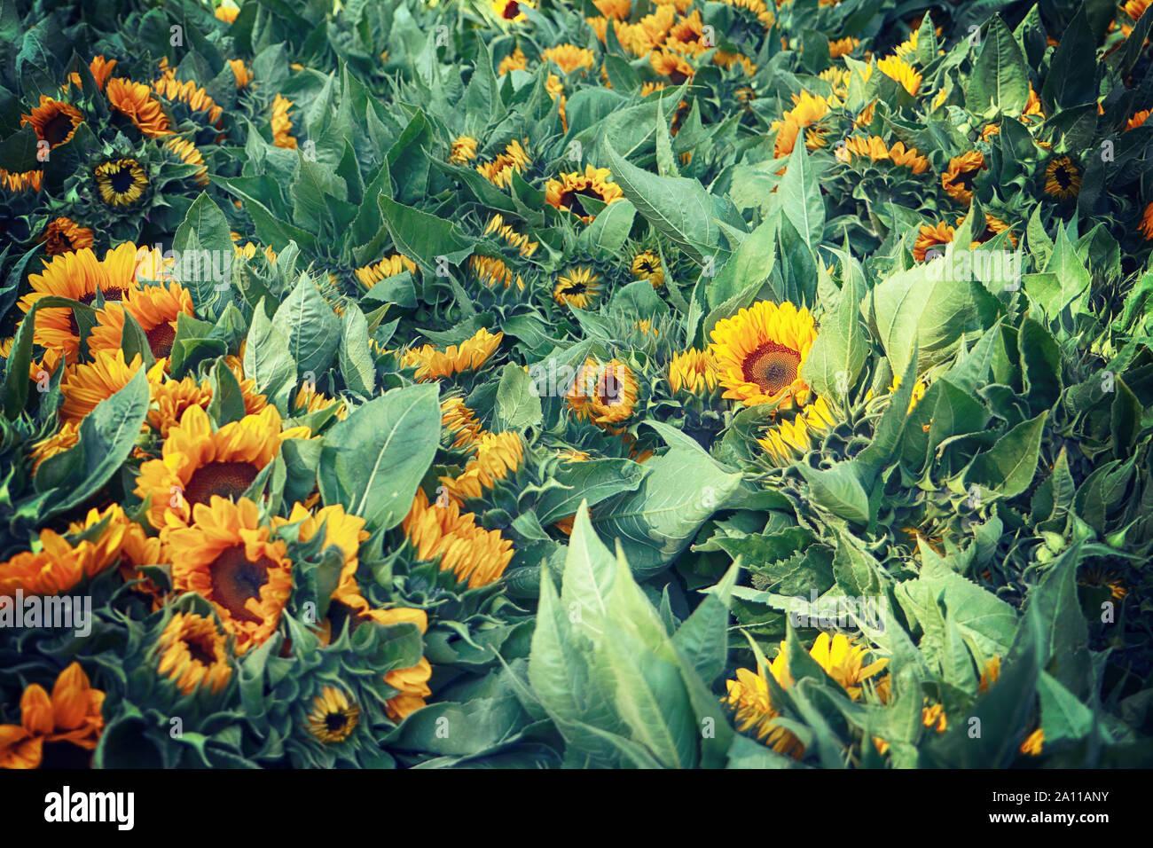 La culture intensive des fleurs en Bavière: tournesol lumineux chefs récoltés en été et prêt pour le marché floral, fond nature Banque D'Images