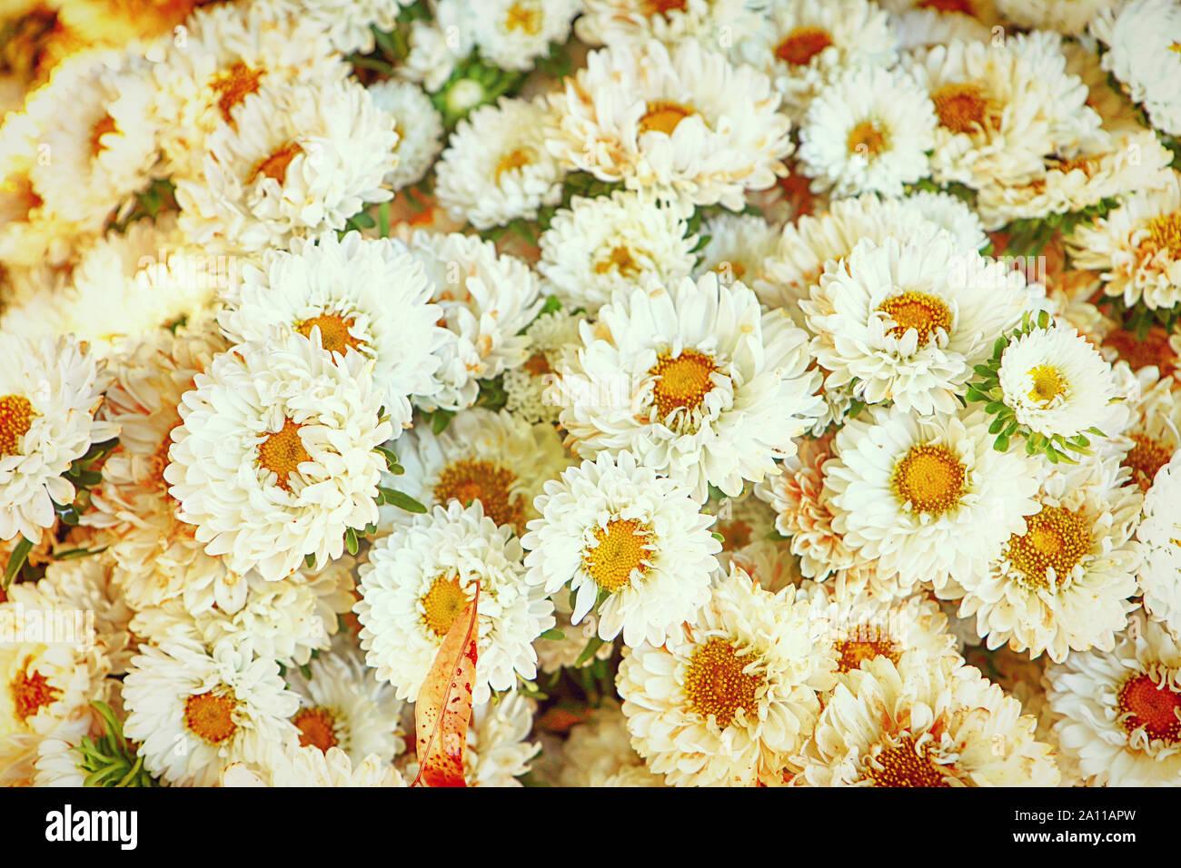 La culture intensive des fleurs en Bavière: aster lumineux fleurs en été et prêt pour le marché floral, fond nature Banque D'Images