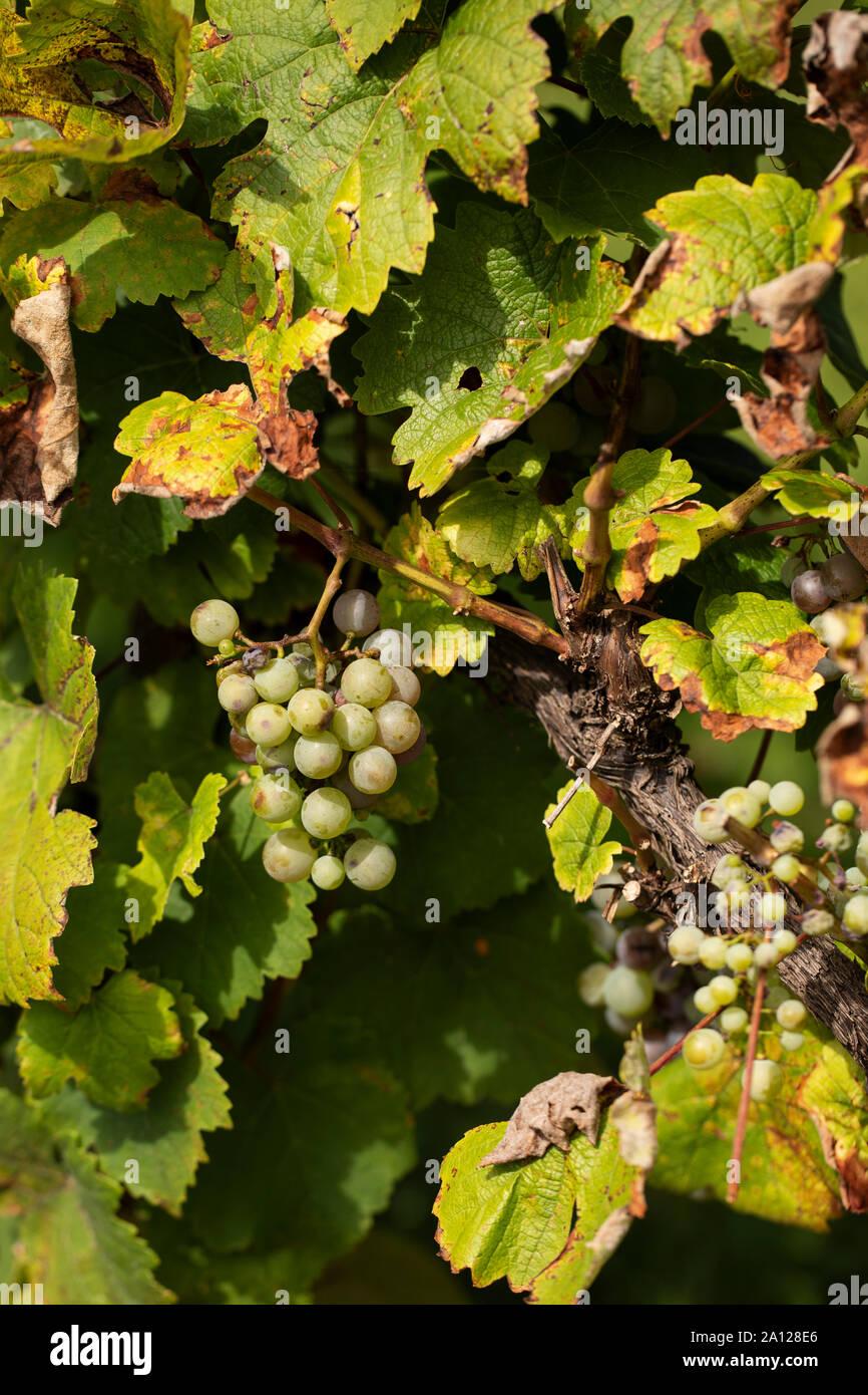 Vignes du raisin Heida, Paien ou Savagnin blanc (vitis vinifera), un raisin blanc de la région du Jura en France. Banque D'Images