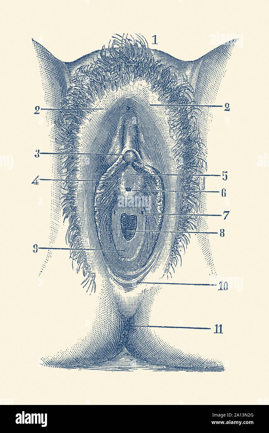 Anatomie Vintage print montrant une partie du système reproducteur féminin. Banque D'Images