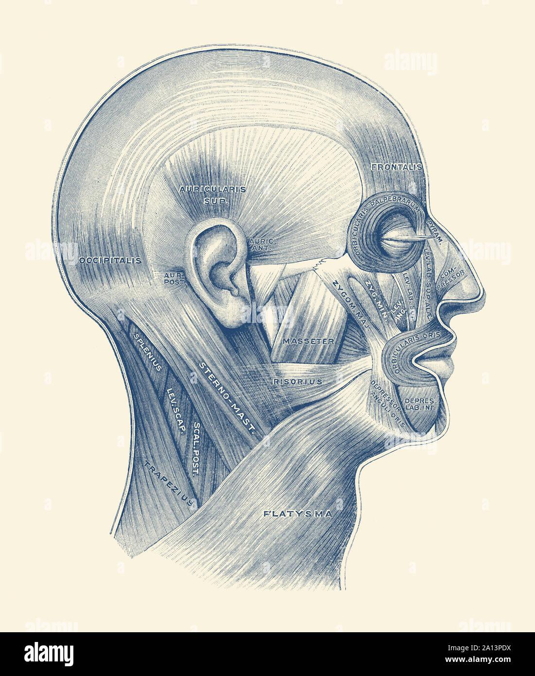 Schéma du système musculaire humaine tout au long de la face et du cou. Banque D'Images