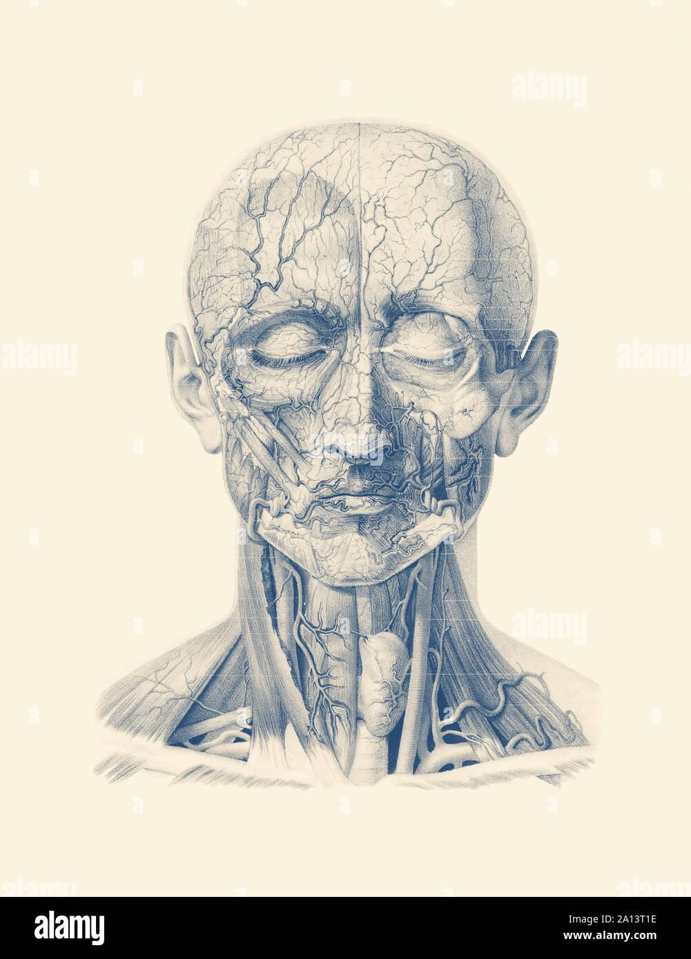 Anatomie Vintage print montrant les veines et artères dans le visage humain et le cuir chevelu. Banque D'Images