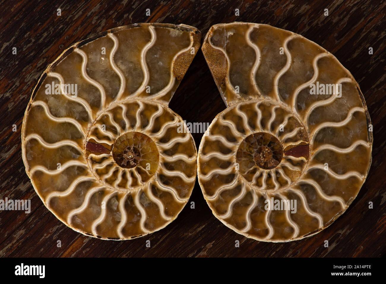 Ammonites ancienne, aussi appelée ammonoidea ammonoïdes, ou sont une forme de mollusque marin étroitement liée à celoids modernes, tels que le calmar Banque D'Images