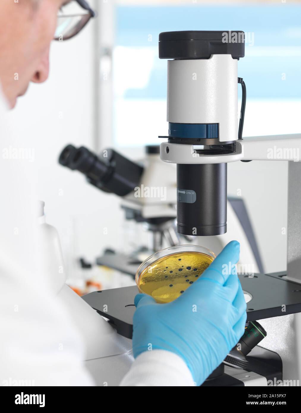 Microbiologie, visualisation scientifique croissante des cultures en Pétri sous un microscope inversé dans le laboratoire Banque D'Images