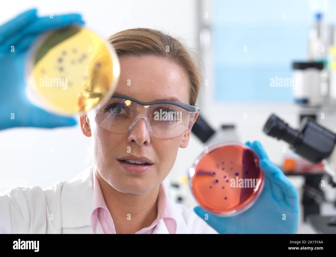 Microbiologie, visualisation scientifique croissante des cultures en Pétri avant de les placer sous un microscope inversé dans le laboratoire Banque D'Images