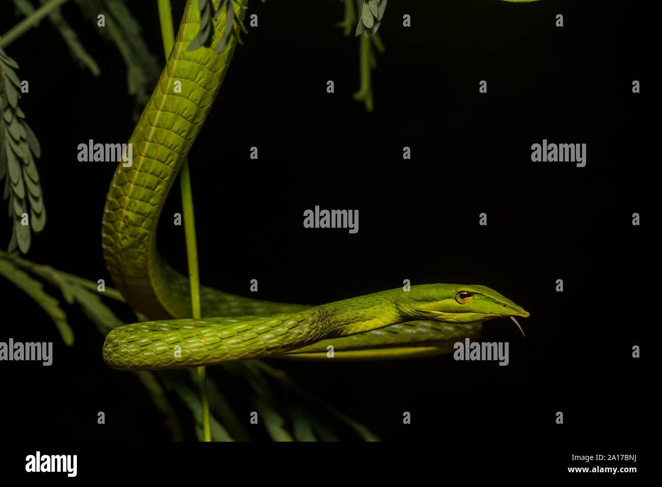 Whipsnake bec long (Ahaetulla nasuta) de la province de Prachuap Khiri Khan, Thaïlande. Banque D'Images