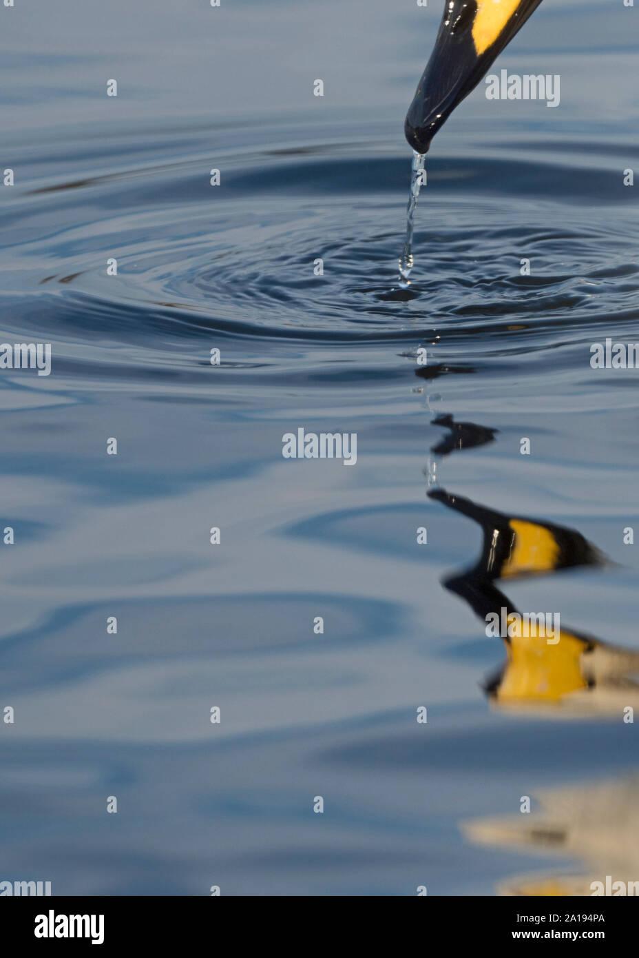 Cygne chanteur Cygnus cygnus Martin simple Lancs UK winter Banque D'Images