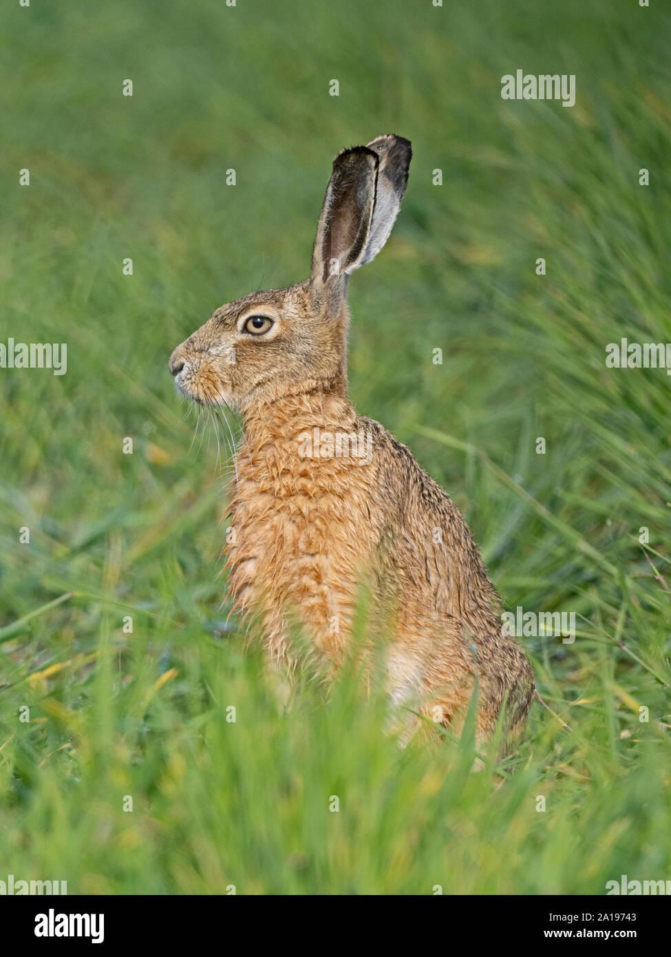 Lièvre brun Lepus europaeus North Norfolk printemps Banque D'Images