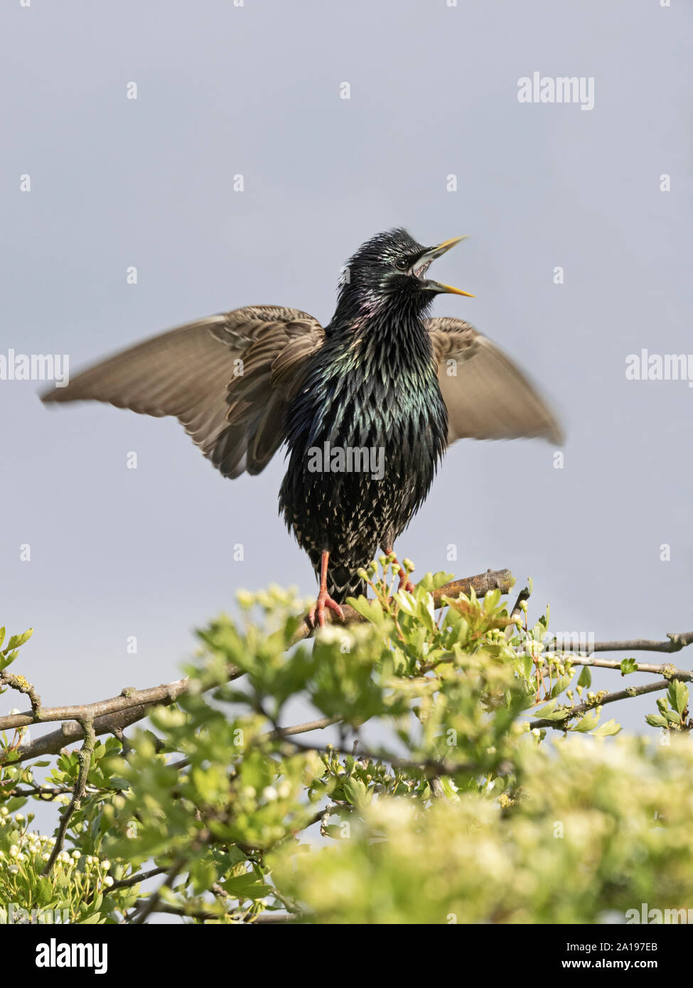 Sansonnet Sturnus vulgarus en chanson afficher près de nid dans garden North Norfolk UK printemps Banque D'Images
