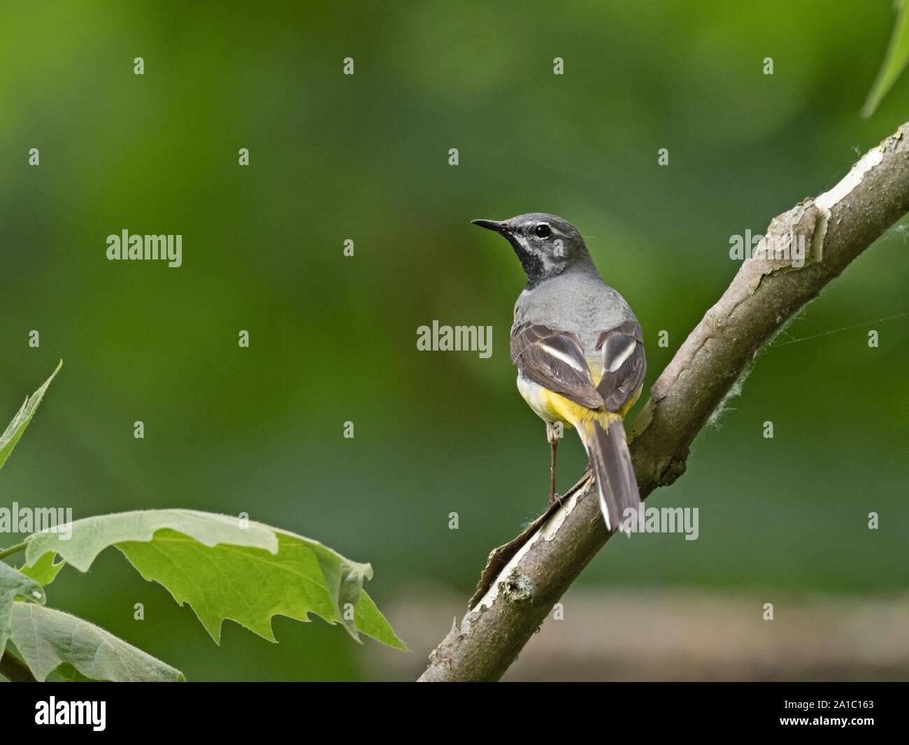 Bergeronnette des ruisseaux Motacilla cinerea male au printemps Thetford Norfolk Banque D'Images
