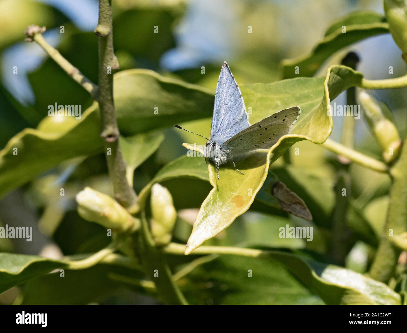 Celastrina argiolus Holly Blue Butterfly sur puce dans Holt jardin printemps Norfolk Banque D'Images