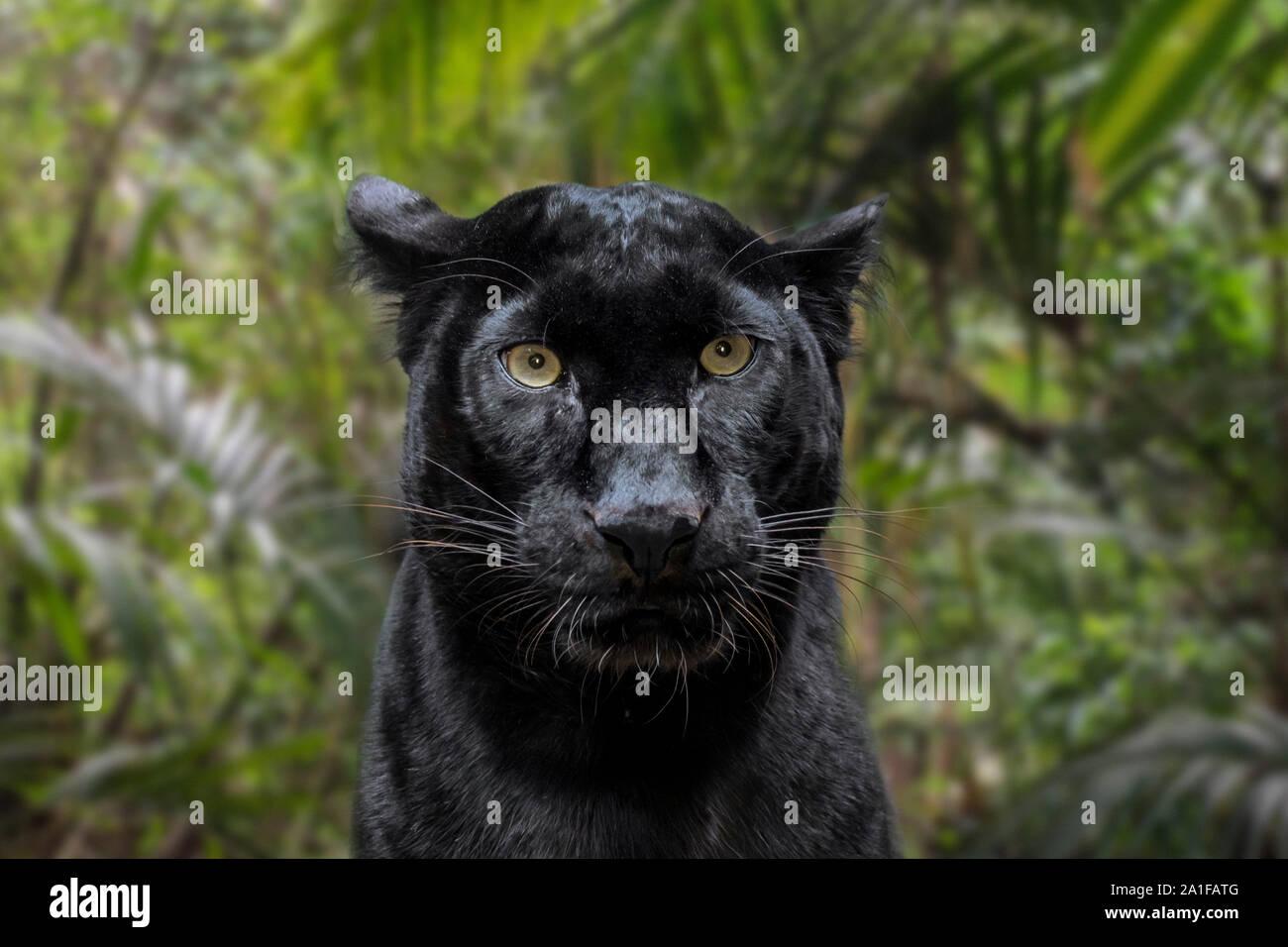 Melanistic leopard / Black Panther (Panthera pardus) en forêt tropicale, originaire d'Afrique subsaharienne et l'Asie Banque D'Images