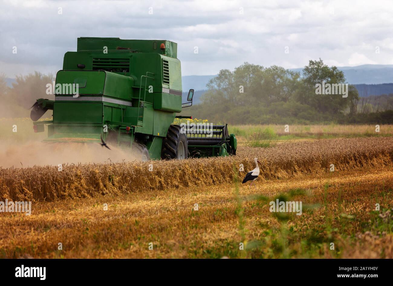 Moissonneuse-batteuse, récolte de la machine de l'agriculture champ de blé mûr d'or Banque D'Images