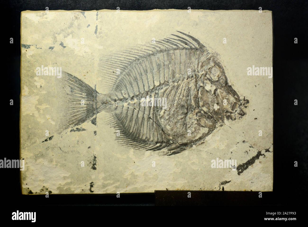 Naseus nuchalis combustibles, une espèce de poissons fossilisés ou dupliquer un fossile de l'ère de l'éocène 40MA découvert à Vérone Italie Banque D'Images