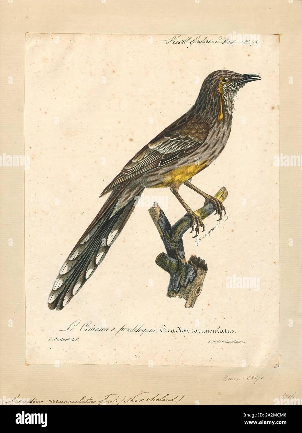 Creadion carunculatus, Imprimer, l'île du Sud saddleback ou tīeke (Philesturnus carunculatus) est un oiseau de la forêt dans la Nouvelle Zélande wattlebird famille qui est endémique à l'île du sud de Nouvelle-Zélande. L'Île du Nord et saddleback cette espèce était auparavant considérées comme conspécifiques. Le ministère de la conservation en ce moment a l'île du Sud saddleback désignées en péril--en déclin., 1825-1834 Banque D'Images