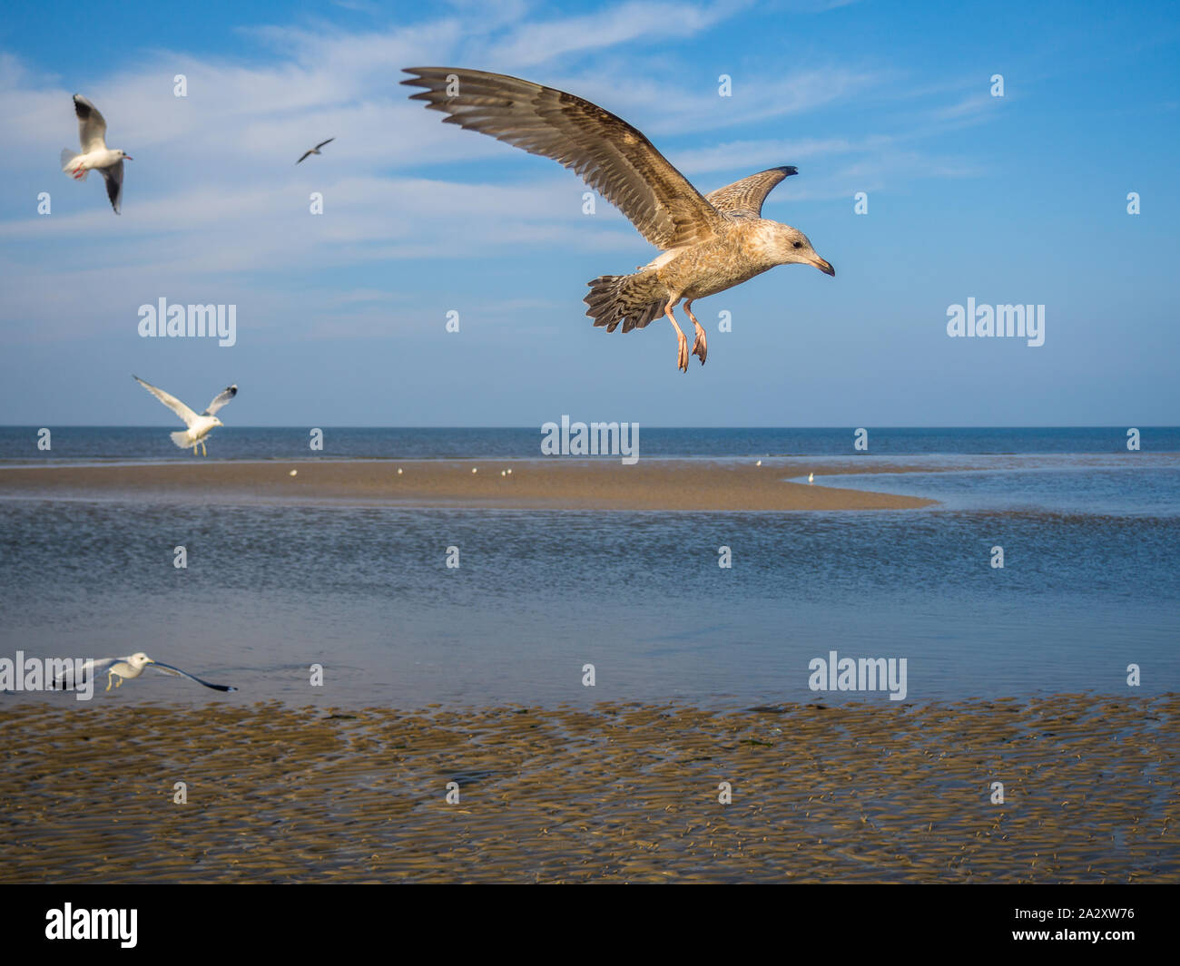 Seagull goéland argenté s'approchant de la glace Banque D'Images