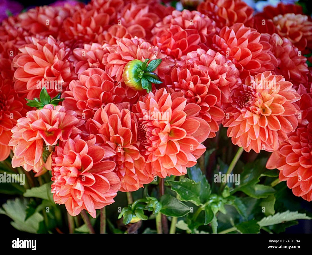Contexte: la nature orange magnifique dahlia fleurs en été pour le marché floral Banque D'Images