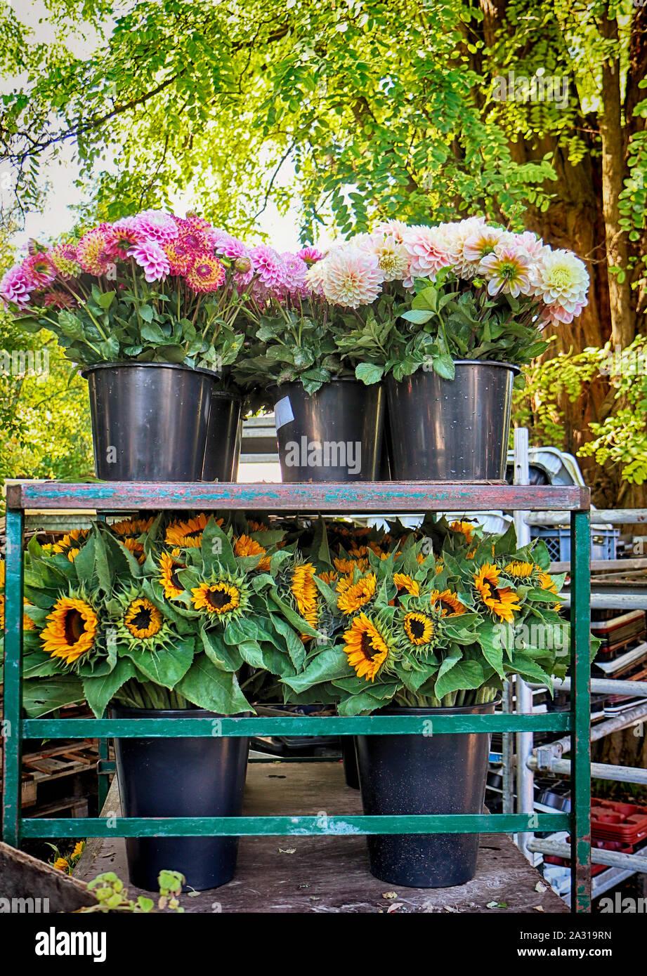 La culture de fleurs colorées et le tournesol: dahlia récoltés et couper en pot pour le marché floral à la fin de l'été Banque D'Images