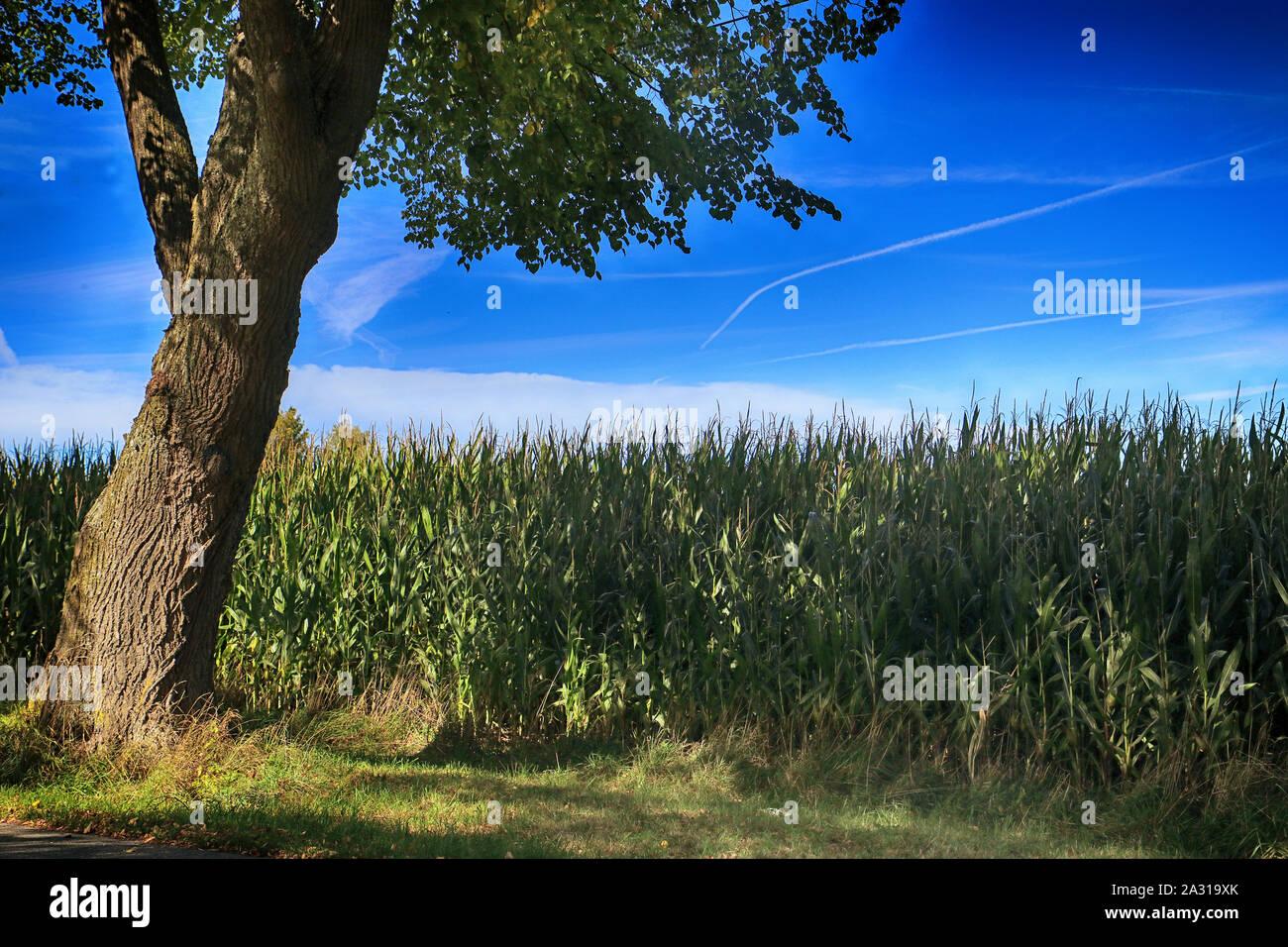 Paysage rural bavarois en été, ciel bleu, champ de maïs et des arbres Banque D'Images