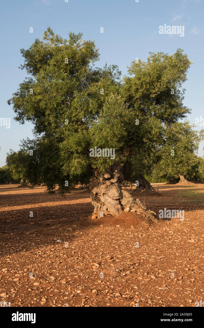 Planter Olivier Proche Maison puglia olive tree photos & puglia olive tree images - alamy