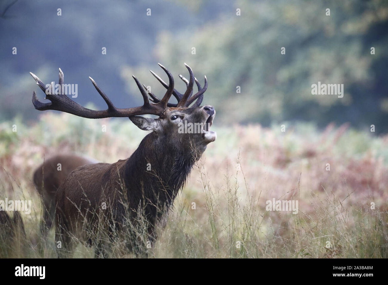 Richmond Park, Londres, UK. 7 Oct 2019.A Red Deer (Cervus elaphus) bolving à l'assemblée annuelle de l'ornière aujourd'hui à Richmond Park, Royaume-Uni. Credit:Ed Brown/Alamy Live News Banque D'Images
