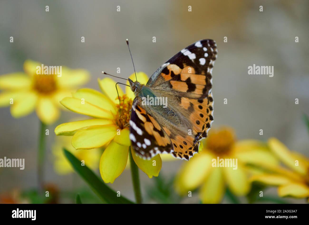 Un papillon belle dame buvant nectar d'une fleur Banque D'Images