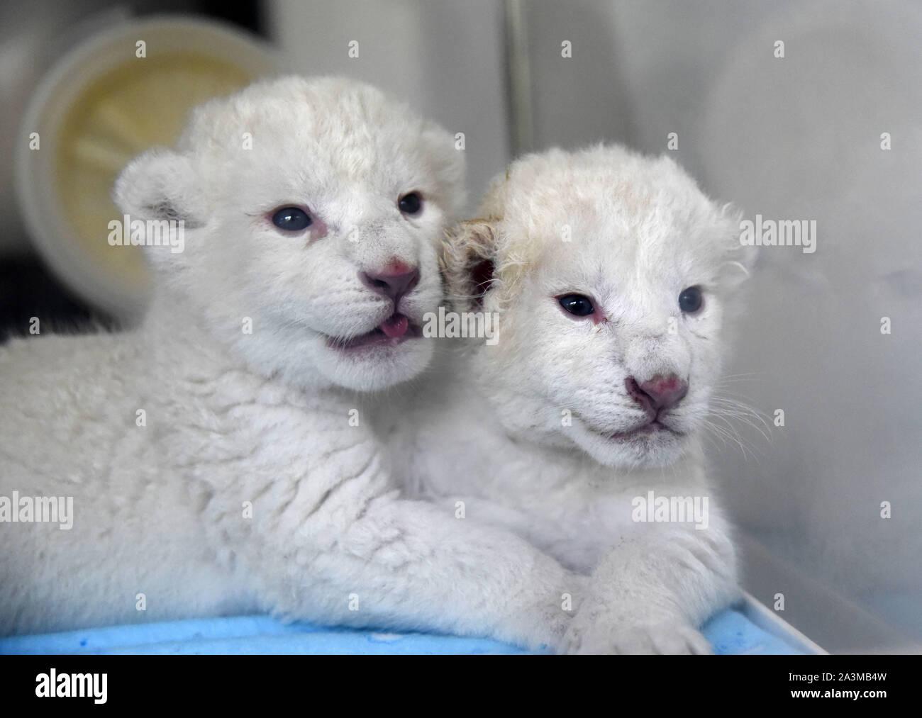 Jinan, Chine, la province de Shandong. 9 octobre, 2019. Une paire de lits jumeaux nouveau-né white lion cub sont photographié à la Wild World Jinan, un parc animalier à Jinan, capitale de la Chine de l'est la province du Shandong, le 9 octobre 2019. Un lion blanc mère a donné naissance à une paire d'oursons jumeaux le 2 octobre au monde sauvage. Les deux oursons nouveau-né, un homme et une femme, sont en bon état de santé et se réunira les visiteurs après une période d'observation. Le lion blanc est une rare espèce trouve principalement dans le sud de l'Afrique. Credit: Wang Kai/Xinhua/Alamy Live News Banque D'Images