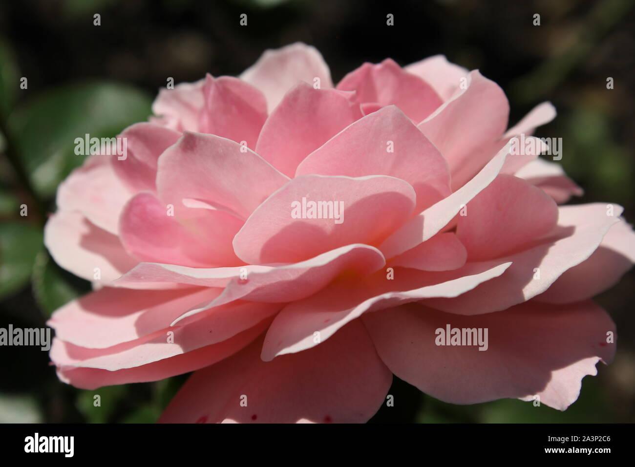 L'été idéal rose rose blossom fleurir dans le jardin. Banque D'Images
