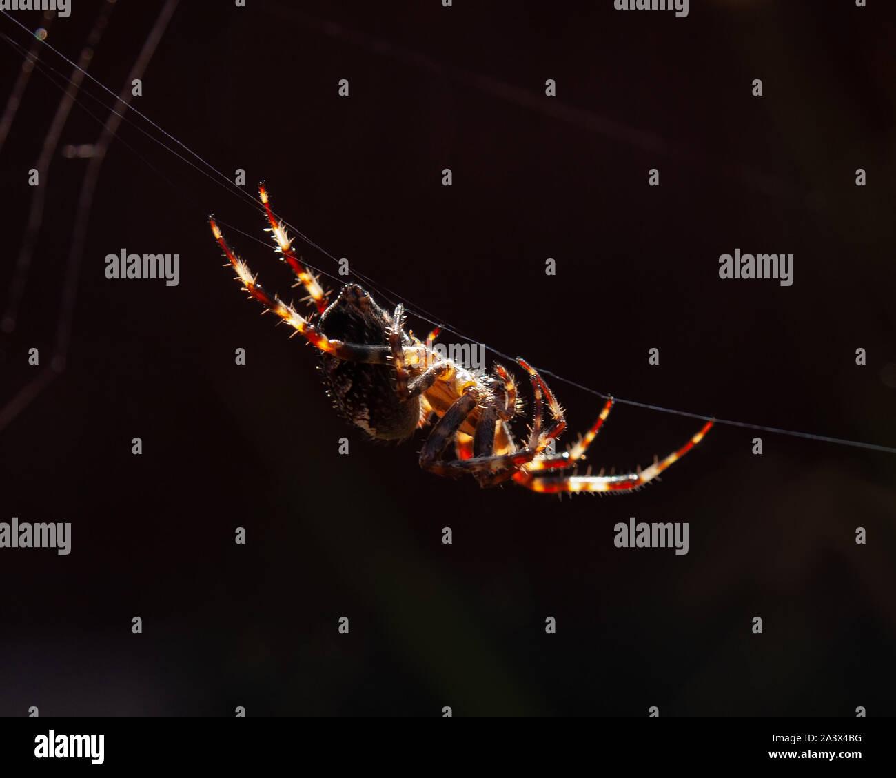 Jardin araignée suspendu par un thread dans la lumière du soleil avec son site web à l'arrière-plan. Soie peut être observé venant de ses filières. Banque D'Images