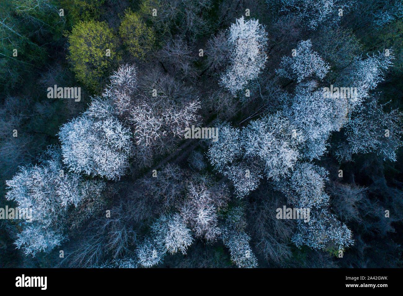 Vue aérienne de la floraison des cerisiers au soir. Voler au-dessus de verger. Contexte d'arbres à fleurs blanches vu de dessus. Banque D'Images