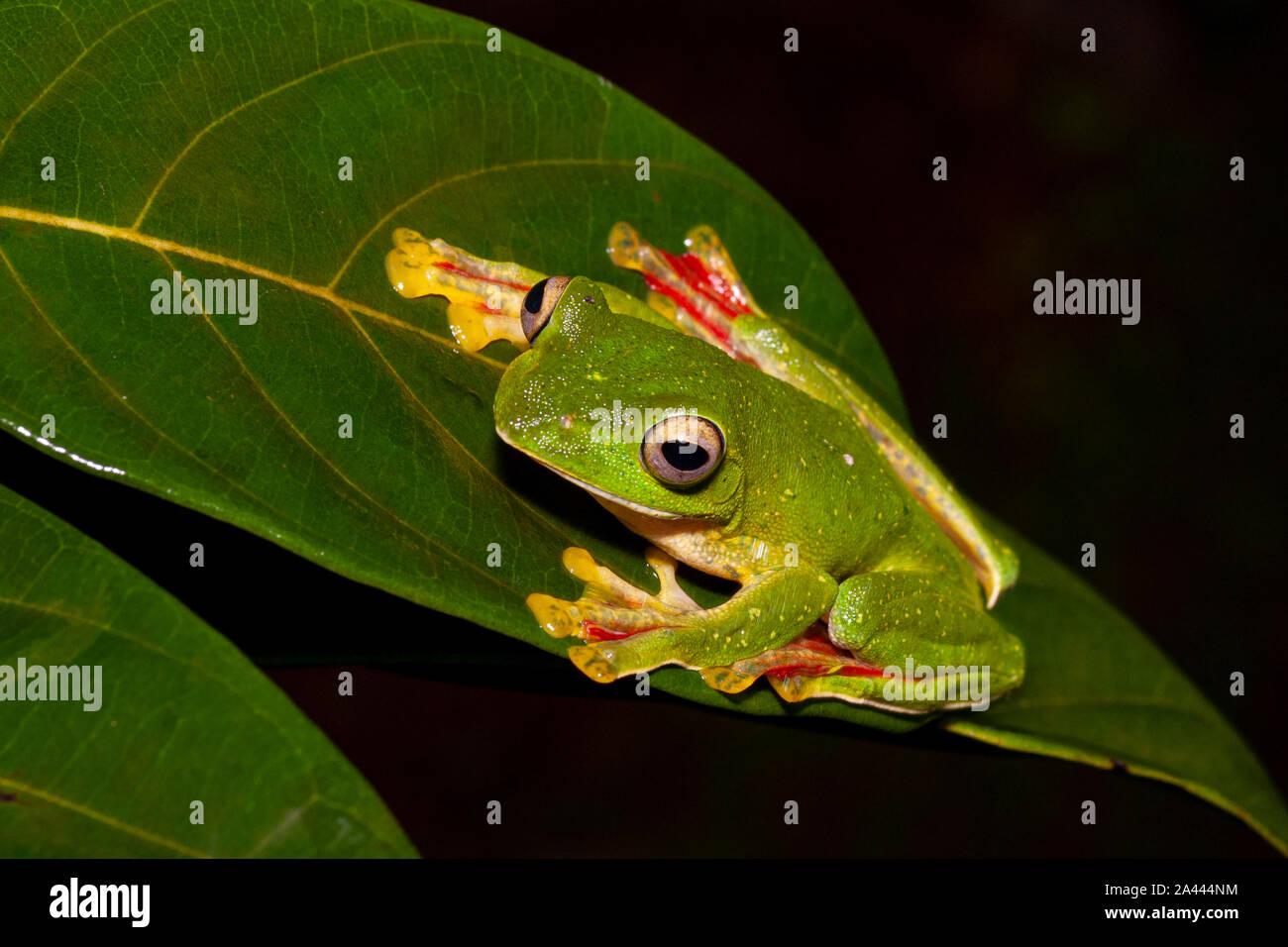 Rhacophorous Malabaricus ou Malabar Deltaplane Frog vu à Amboli,Maharashtra, Inde Banque D'Images