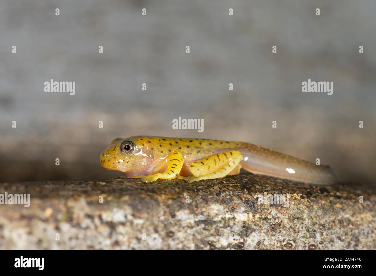 Les têtards de grenouille de vol à Malabar vu à Amboli,Maharashtra, Inde Banque D'Images