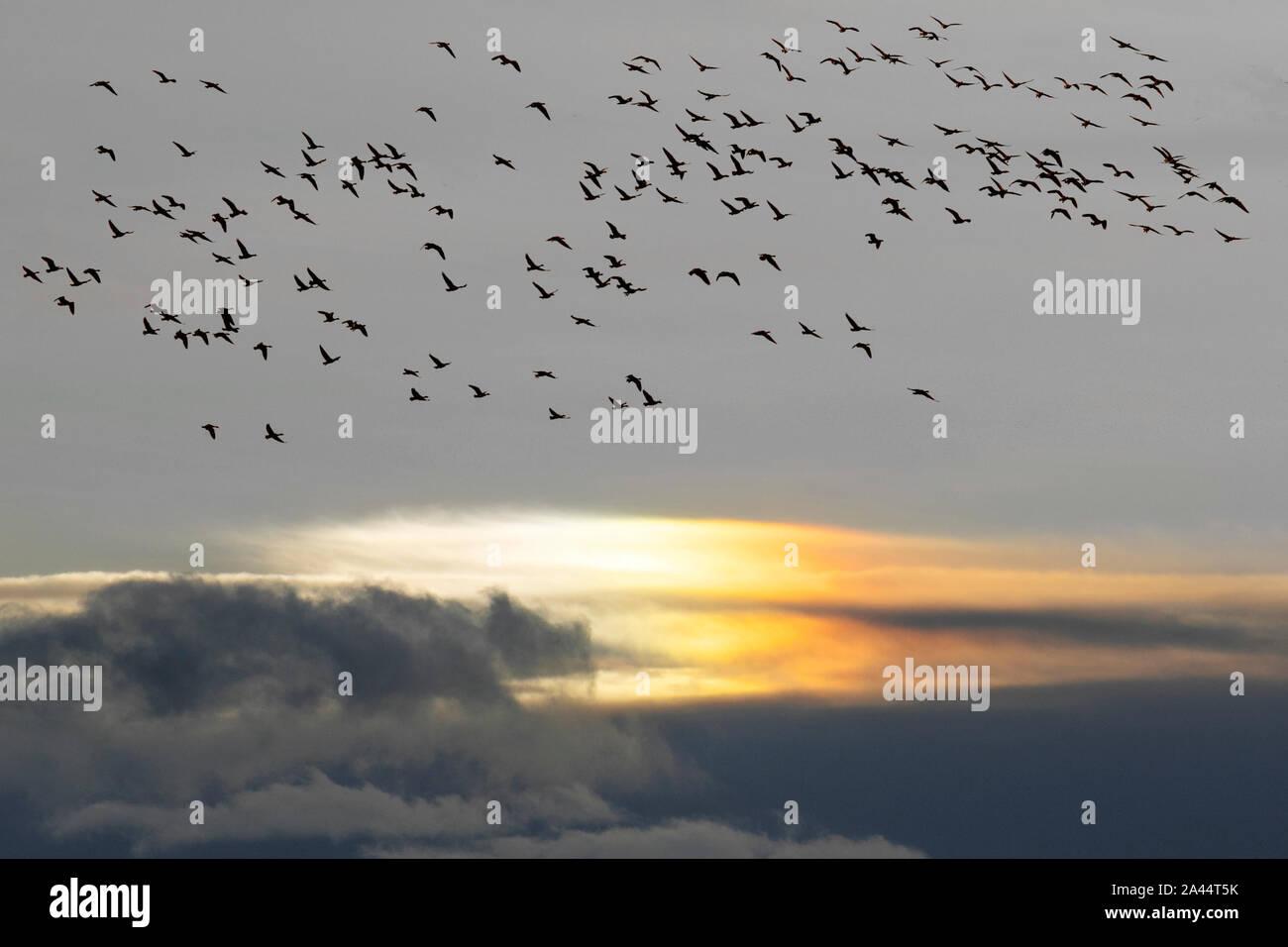 Southport, Merseyside. Météo britannique. 12 octobre 2019. En début de matinée, la pluie est suivie de conditions plus vives dans le complexe. Sur la côte, selon les estimations, 48 800 oiseaux migrants se montent à l'aube du marais Ribble de la RSPB. Les pinkies signalent l'arrivée de l'hiver sur la côte de Sefton, car les énormes troupeaux d'oies des pieds roses migrants arrivent des climats du nord à l'hiver en Angleterre. Des milliers de « Pinkies » passent les mois d'hiver, paissent et se forrent sur les terres agricoles du West Lancashire pendant la journée et piquent sur les prairies de l'estuaire. Environ 280 000 habitants, 80 % de la population mondiale hivernent au Royaume-Uni. Banque D'Images