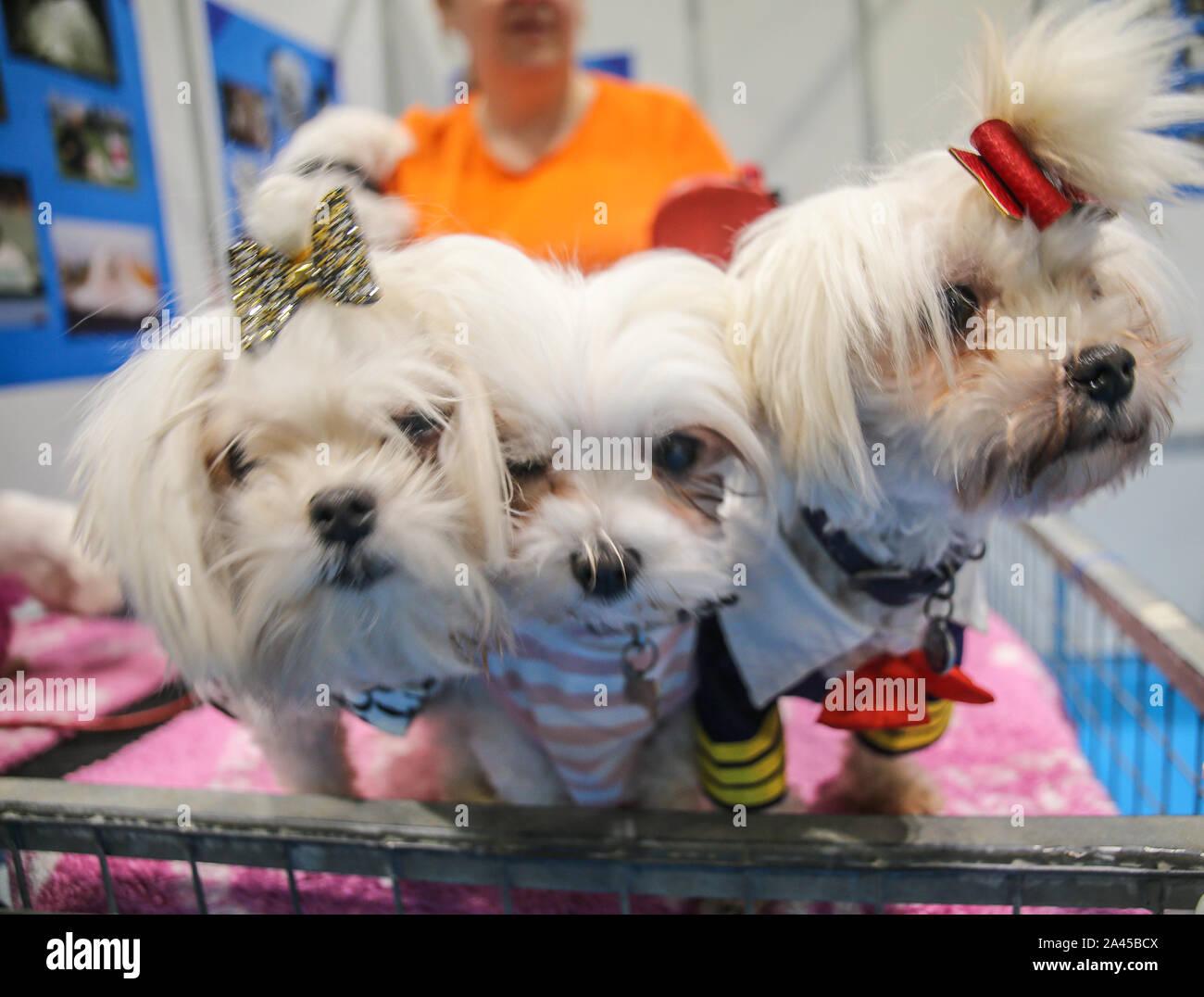 Londres, Royaume-Uni. 12 octobre, 2019. Découvrez les chiens London Excel, avec plus de 200 chiens de races différentes à choisir de, le Kennel Club Show très attendu pour ceux qui sont intéressés à obtenir un chien, est l'occasion idéale de savoir exactement quels chiens est adapté à leurs besoins, ce qui est le plus sympathique de la famille et ceux qui comme une caresse et vous détendre et ceux qui ont besoin d'exercice. Crédit: Paul/Quezada-Neiman Alamy Live News Banque D'Images