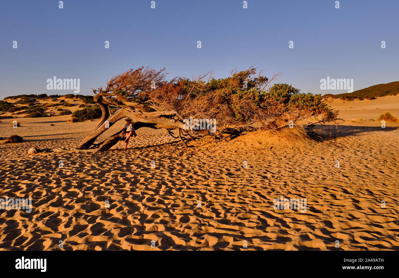 Juniperus façonné par le vent dans Dune di Piscinas, Sarde Désert, Arbus, Italie Banque D'Images