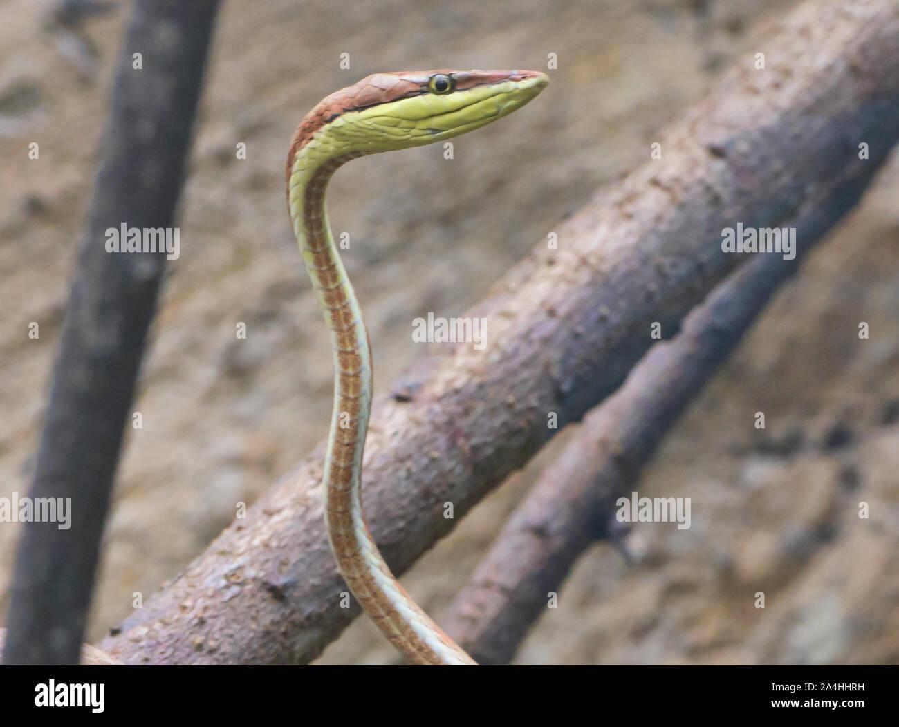 La serpent de vigne (oxybelis brevirostris), l'Équateur Banque D'Images