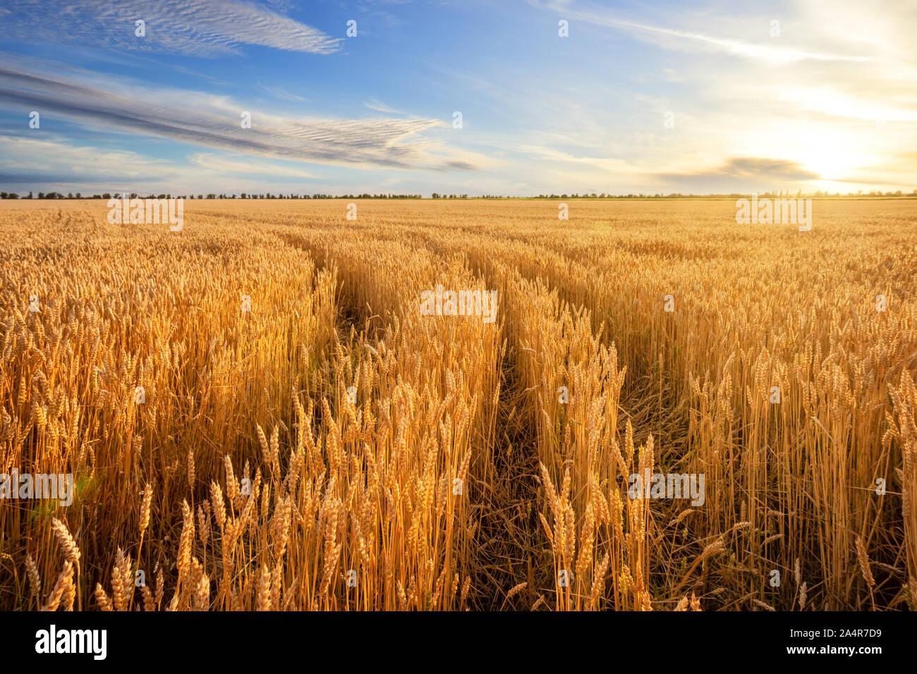 Entre la route des épis de blé d'or dans le champ sous ciel bleu. Paysage d'automne. Banque D'Images