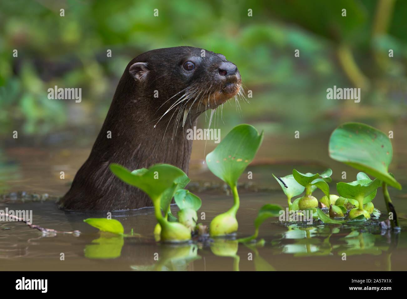 La loutre néotropicale (Lontra longicaudis), les zones humides du Pantanal, Brésil Banque D'Images
