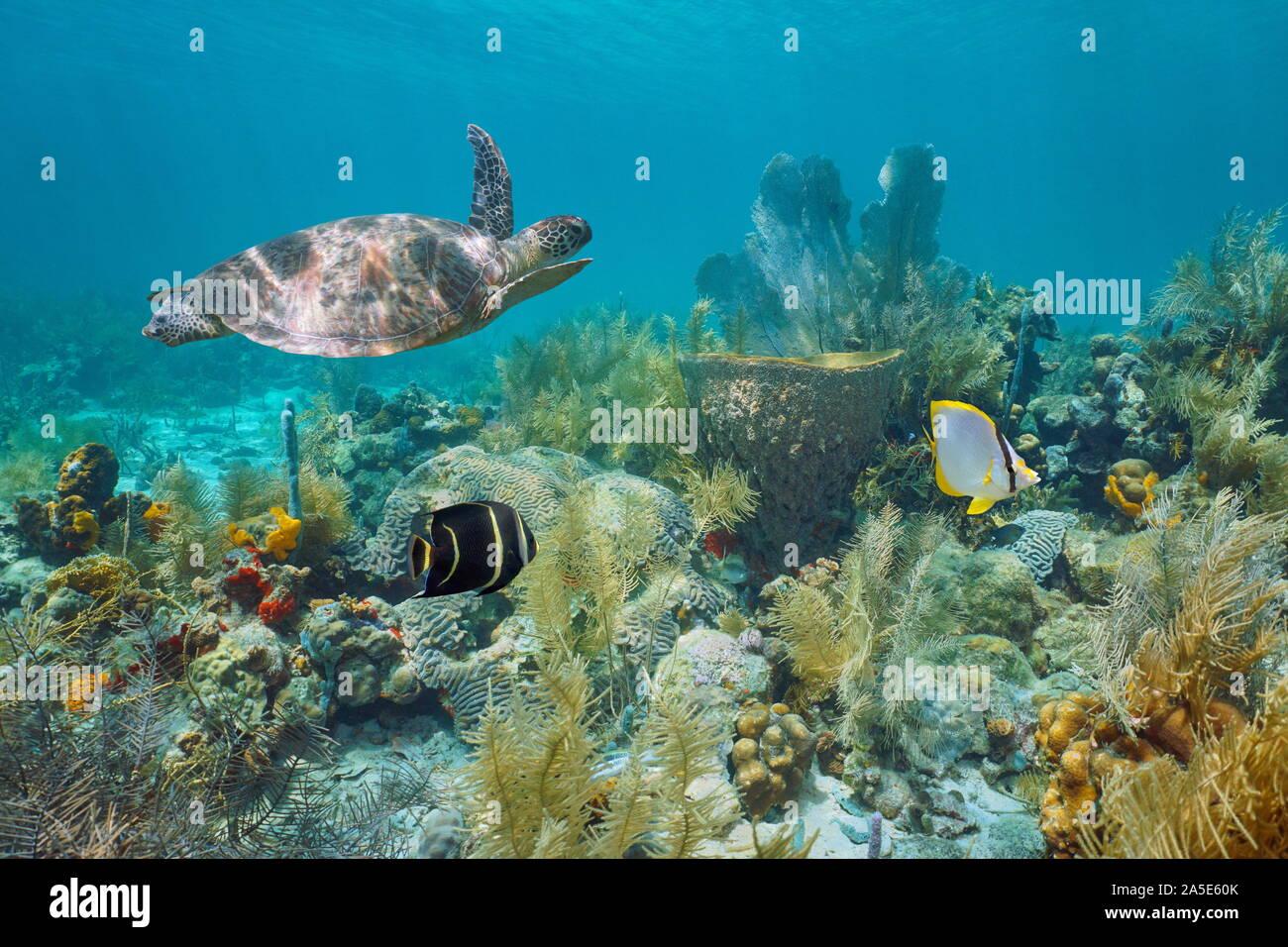 Les récifs coralliens des Caraïbes sous l'eau avec une tortue de mer verte et poissons tropicaux, Martinique, Petites Antilles Banque D'Images