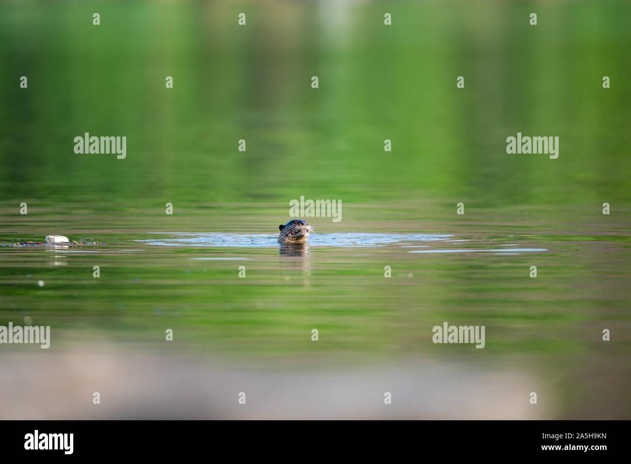Des animaux vulnérables à revêtement lisse ou loutre Cerdocyon perspicillata image miroir jouant en vert l'eau calme de la rivière Ramganga, Jim Corbett national park Banque D'Images